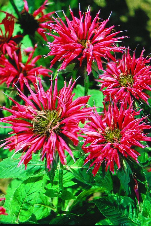 Red bee balm's mint