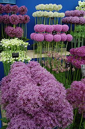 edible alliums