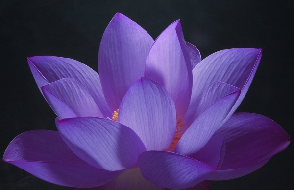 the exquisite lotus flower  womans vibe, Beautiful flower