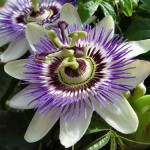 Passion Flower : Nature's Fragrant Tranquilizer.
