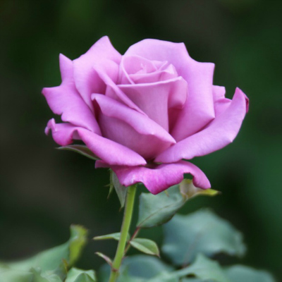 6-purple-rose-meaning-lgn