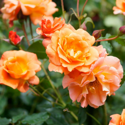 8-orange-rose-meaning-lgn