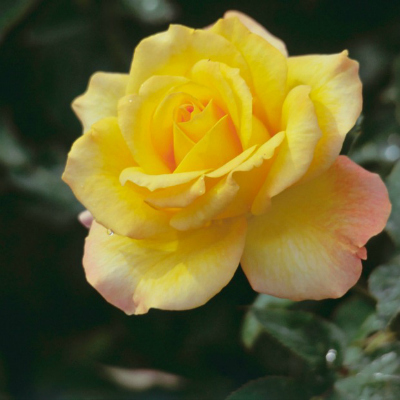 9-yellow-rose-meaning-lgn