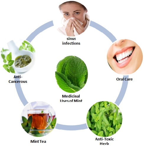 Medicinal Uses of Mint(2)
