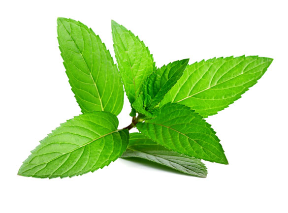 Peppermint-Plant
