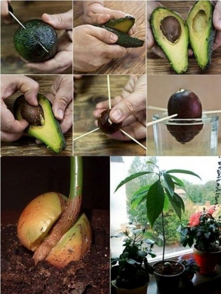 how-to-grow-an-avocado-tree-451x600