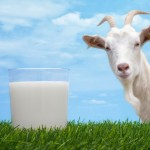 Why Goat's Milk Is Healthier Than Cow's Milk