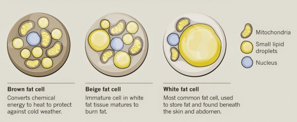 Brown-Beige-White-Fat-Cells-e1439350020915