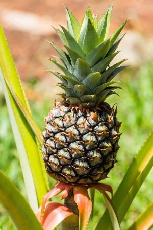 After-You-Find-Out-What-Pineapples-Can-Do-To-Your-Breasts-You-Will-Never-Stop-Eating-Them-