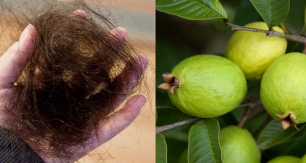 Guava-Leaves-Can-Extremely-100-Stop-Your-Hair-loss-and-Make-It-Grow-Like-Crazy