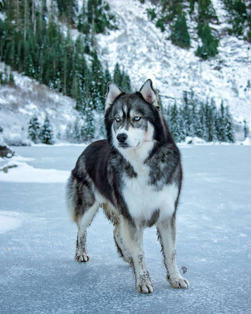 i-rescued-a-husky-and-later-he-saved-me-from-an-abusive-relationship-7__880