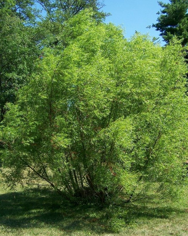 make-aspirin-from-willow-tree.w654 (1)