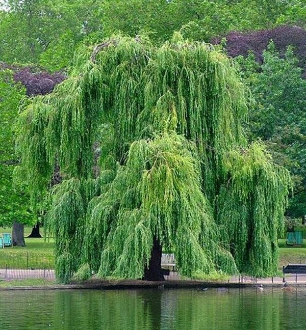 make-aspirin-from-willow-tree.w654