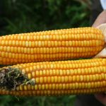 The Shocking Truth About Corn – 6 Reasons to Never Eat Corn Again