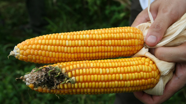 The-Shocking-Truth-About-Corn-–-Six-Reasons-to-Never-Eat-Corn-Again