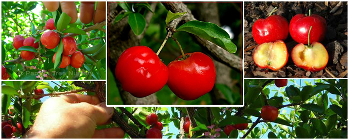 acerola-Barbados_cherries