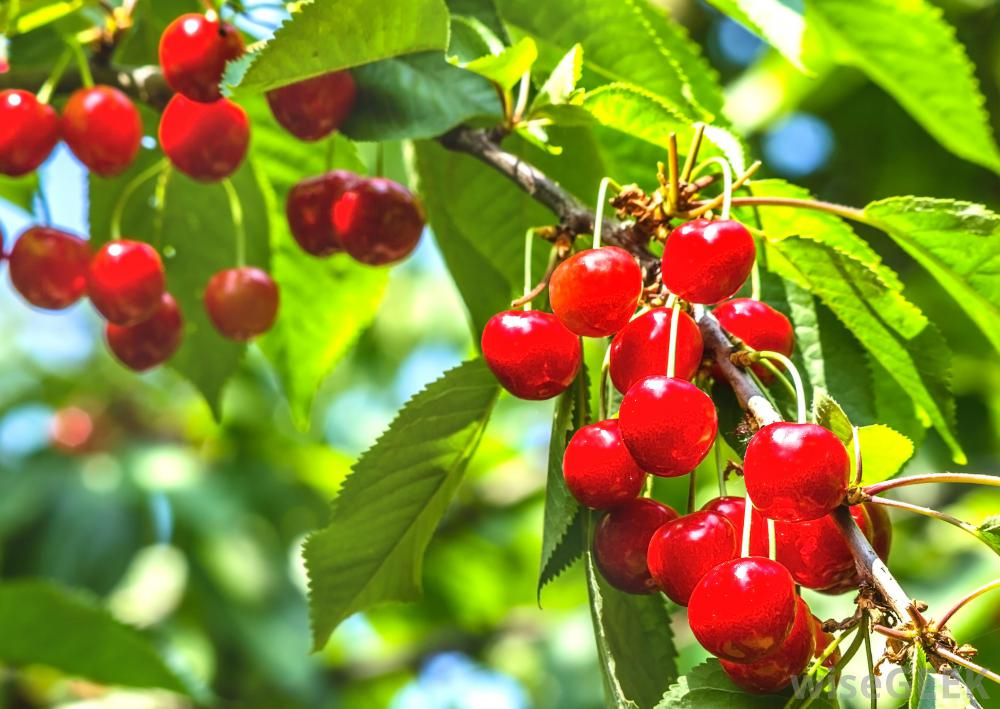 cherry-berries-on-tree