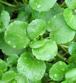 watercress-250x272