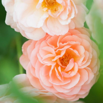 5-peach-rose-meaning-lgn