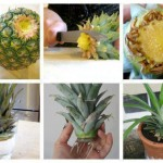 How To Grow A Pineapple From Another One- Easily
