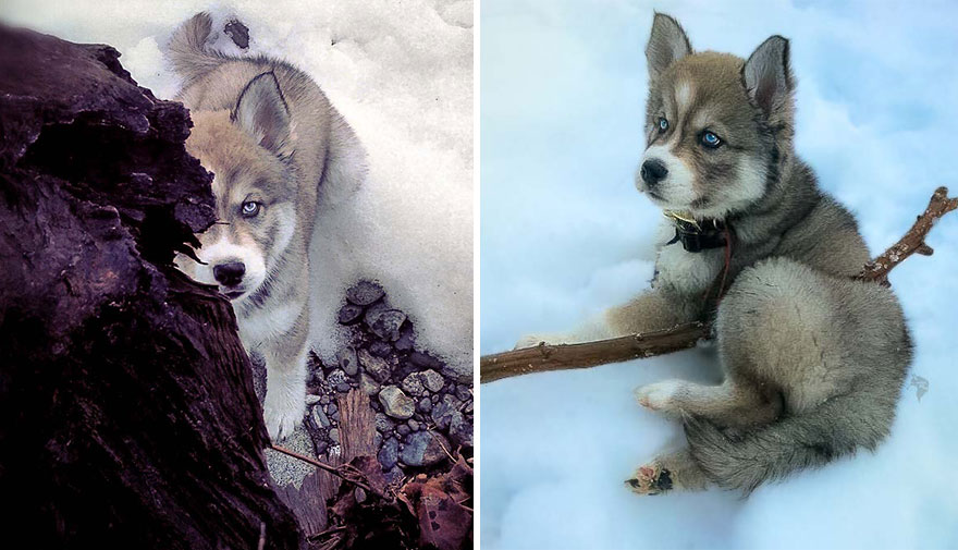 i-rescued-a-husky-and-later-he-saved-me-from-an-abusive-relationship-4__880