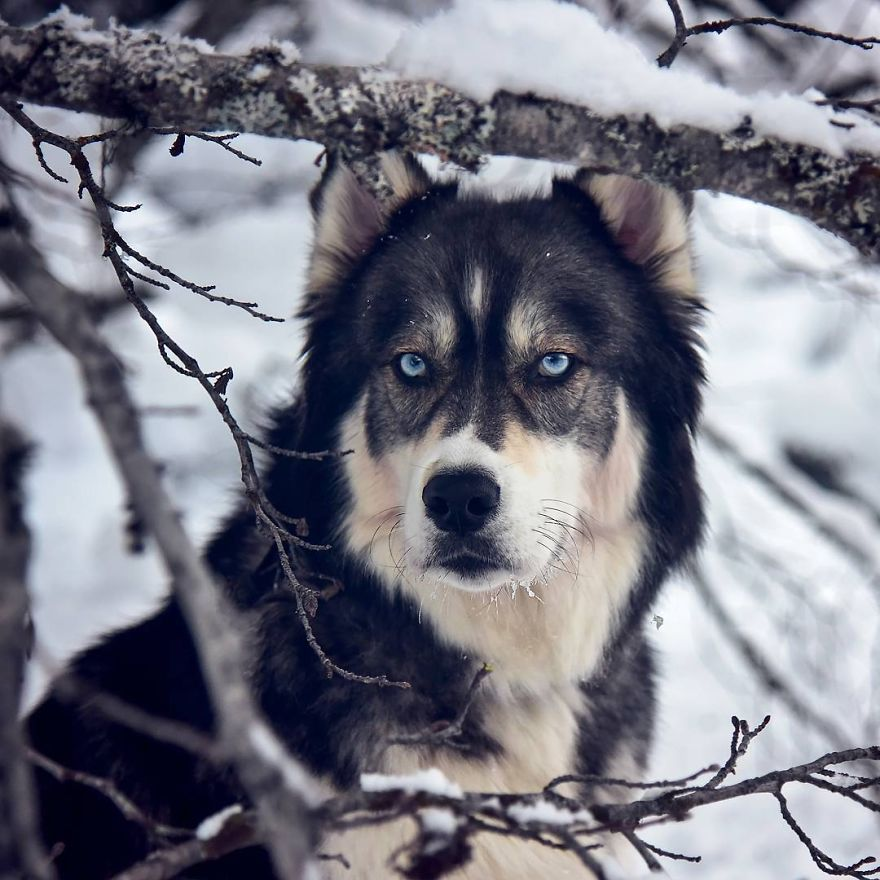 i-rescued-a-husky-and-later-he-saved-me-from-an-abusive-relationship-5__880