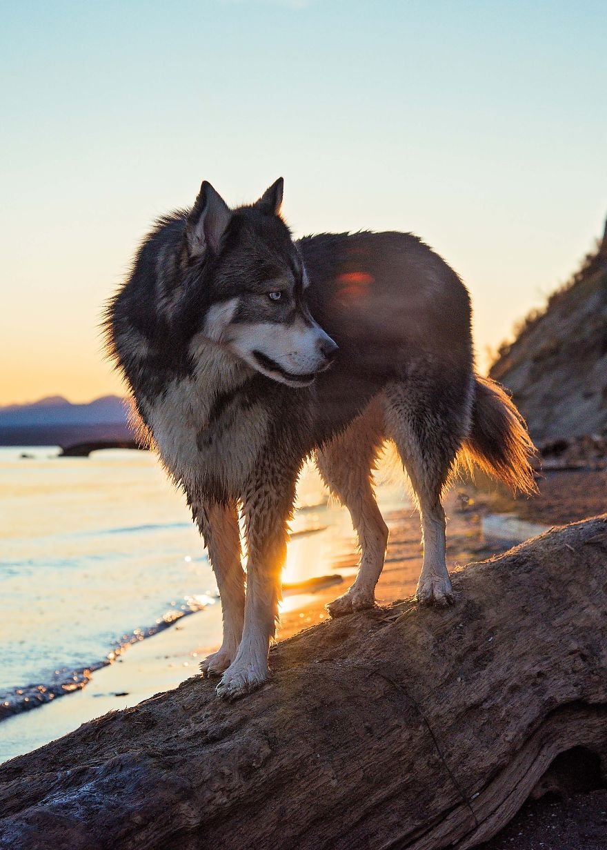 i-rescued-a-husky-and-later-he-saved-me-from-an-abusive-relationship-7__880 (1)