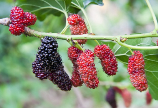 SUPER-BERRY-–-It-Grows-Everywhere-and-It-Treats-Tumor-and-Diabetes