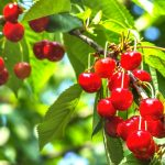 Acerola – Barbados Cherry – The Fruit With The Highest Contents Of Vitamin C